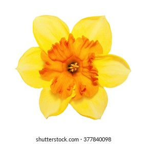 Flower magnificent yellow narcissus flower head isolated on white background
