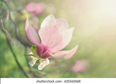 Flower Magnolia flowering against a background of flowers.