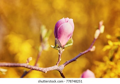 Flower Magnolia flowering against a background of flowers. Spring flower.