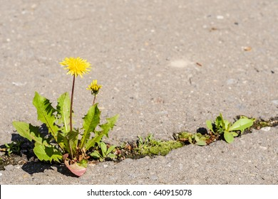 A flower making its way through a crack in the asphalt
