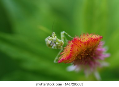 Flower Mantis- Ambush predator or sit-and-wait predator