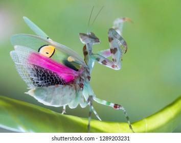 flower-mantis-dancing-260nw-1289203231.j