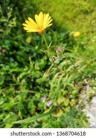 Flower of marigold, calendula or yellow daisy, Calendula suffruticosa, growing in Galicia, Spain