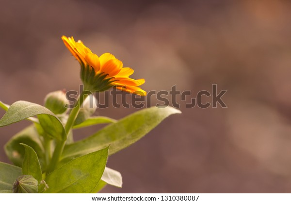 Flower of a marigold on a beige background. Close up. A photo with the place for the text.