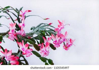 Flower of May , Christmas cactus - Schlumbergera truncata