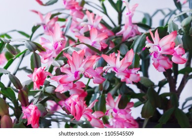 Flower of May known in North America as Christmas cactus - Schlumbergera truncata