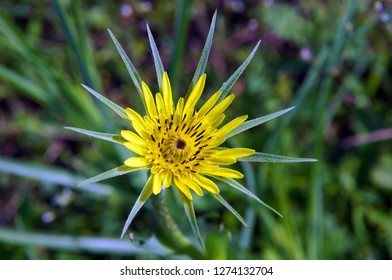 Flower of meadow salsify or showy goat's-beard (Tragopogon pratensis) in spring