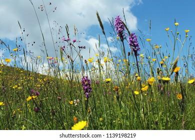 flower meadow in the Swiss Alps