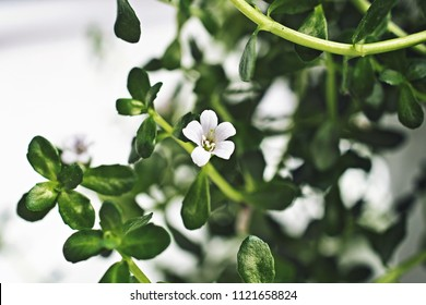 Flower of a medical herb Bacopa which is known from Ayurveda as Brahmi