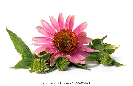 flower of medicinal echinacea plant on white background