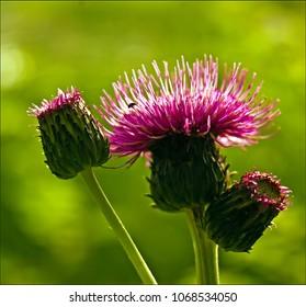 Flower of melancholy thistle