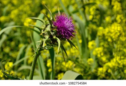 Flower of milk thistle and blurred background of wild plants