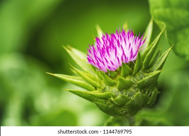 flower milk Thistle close-up. medicinal plant milk Thistle.