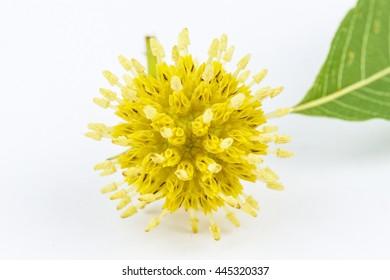 Flower Mitragyna speciosa Korth on white background.