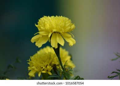 mogra flower plant images stock photos vectors shutterstock