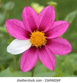 Flower mutant