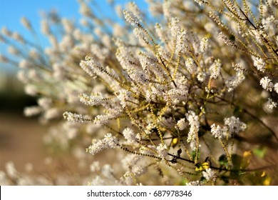 Flower of myrrh and its beauty in the winter of Brazil