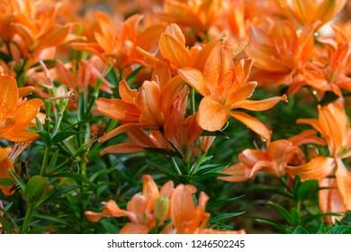 Flower nature background, Blossom orange lilly flower in spring season