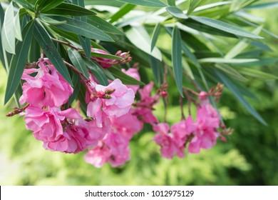 Flower Nerium oleander