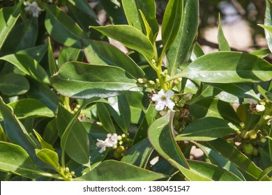 Flower of Ngaio or mousehole tree, Myoporum laetum, cultivated shrub in Galicia, Spain