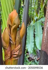 Flower of the nipa palm.