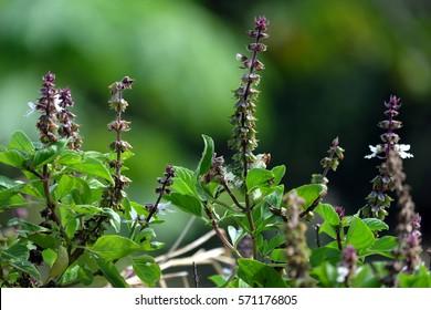 Flower  of Ocimum sanctum