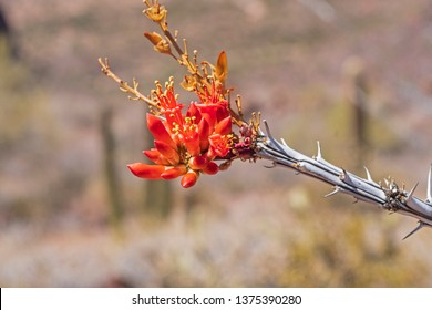 Flower of an Ocotillo in the Spring in Organ Pipe Cactus National Monument in Arizona