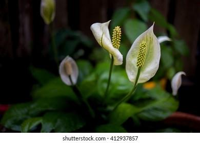 Flower on Black Background, plant in the Araceae family