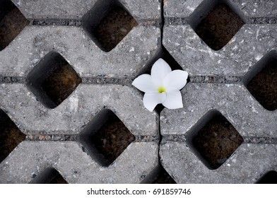 Flower on floor. Frangipani flower in hole of Concrete block pavement background.