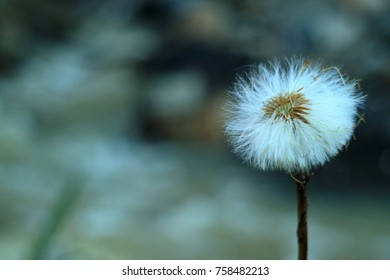 flower on the rocks against the background of a mountain river. Dandelion.