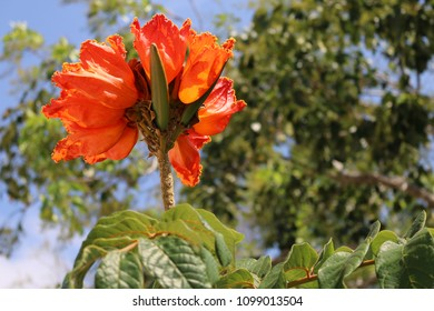 Flower on a tree, African Tulip.