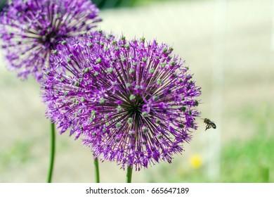 Flower onion grows in the garden