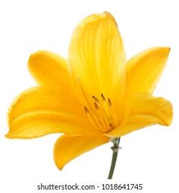 Flower of orange daylily isolated on white background.