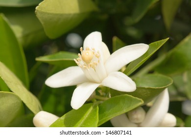 flower of an orange tree among leaves. Close up.