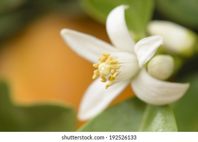 flower of an orange tree among leaves with an orange in the background. Close up.