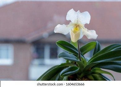 Flower of the orchid Lady's slipper of the genus paphiopedilum variety Rosy Dawn on the window. Home flowers