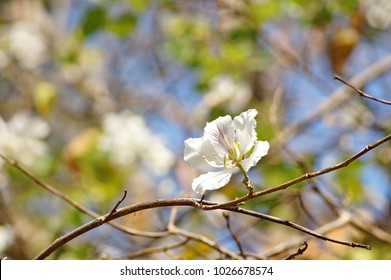 Flower of Orchid Tree or Purder (Bauhinia purpurea).