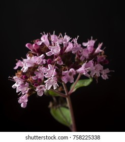 Flower of the oregano or marjoram herb (Origanum vulgare) in late autumn with seed heads about to form, isolated on a black background