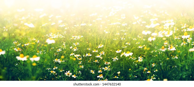 Flower panorama of daisies in the fog. Flowers in the morning in the fog in the summer nature. Chamomile in the form of a panorama. Therapeutic chamomile.