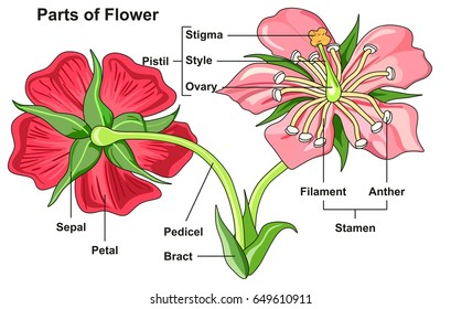 Flowers reproductive parts images stock photos vectors shutterstock flower parts diagram front and back view with all parts labeled useful for school education and ccuart Image collections