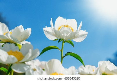 Flower Peony flowering against the background of white flowers.
