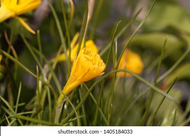 Flower of a petticoat daffodil, Narcissus bulbocodium conspicuous