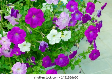 flower or Petunia flowera group of colorful multicolored petunias blooming in the garden on a sunny day