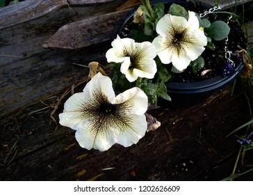 Flower. Petunia Viva Cappuchino.