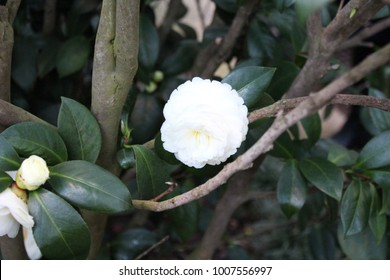 Flower photography, camilla, white flower, blooms, beautiful white camilla