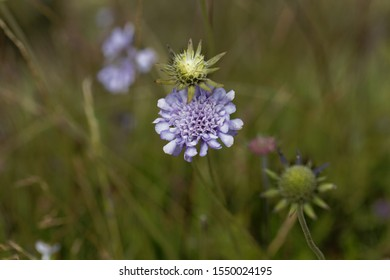 Flower of a pigeon scabious, Scabiosa columbaria, in Ethiopia.