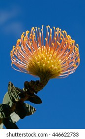 Flower of a pincushion protea (Leucospermum patersonii) against a blue sky, South Africa