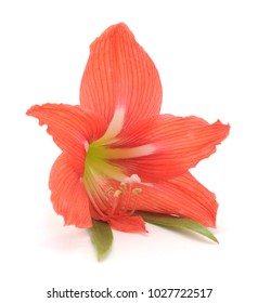 Flower of pink amaryllis isolated on a white background.
