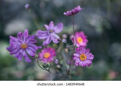 Flower pink Anemone hupehensis in the garden