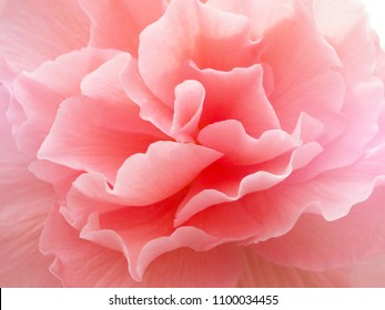Flower pink color close-up. Background.